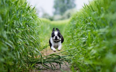 狗,波士顿梗,跑,场,路径
