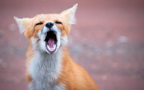 狐狸,狐狸,狐狸,红发