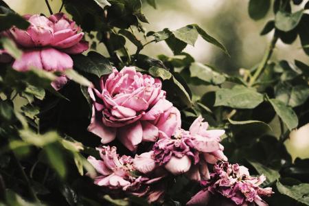 粉色玫瑰花特写
