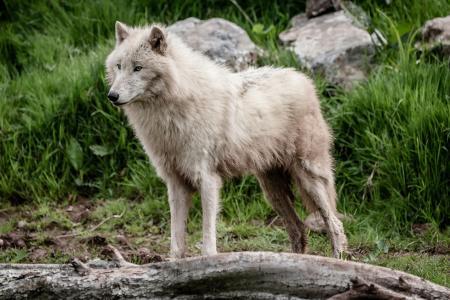 白狼,狼,捕食者,毛皮,英俊,姿势