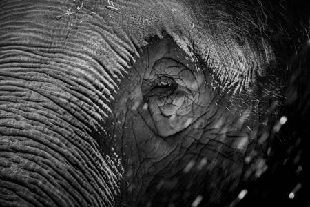 微闭着眼睛的大象