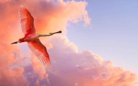 火烈鸟,在,飞行,天空,云