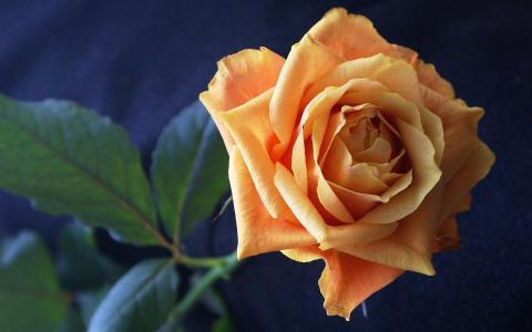 玫瑰,黄色