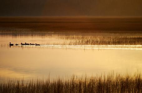 游荡在湖里的鸭子