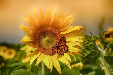 向日葵,花卉,蝴蝶,植物区系