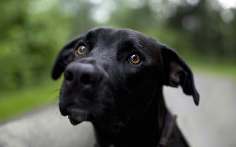 黑色,狗,壁纸