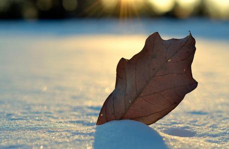 叶,雪,冬天,光,宏