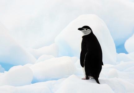 南极企鹅,南极洲,浮冰,企鹅