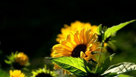 向日葵,壁纸