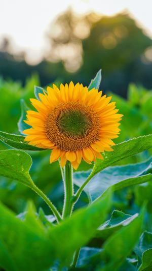 灿烂热情的向日葵