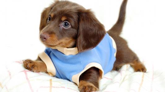 小,狗,壁纸