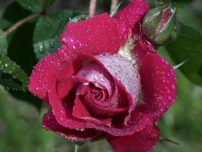 玫瑰,按钮,露水,帽,麻风,宏