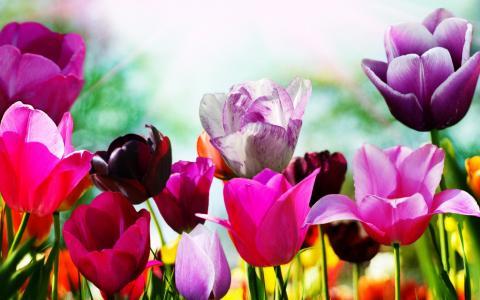 春天,郁金香,壁纸