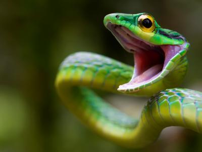 龙,青蛇,哥斯达黎加,攻击