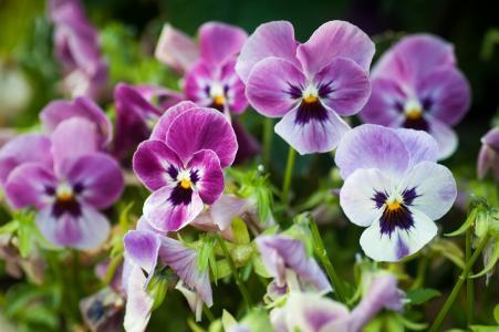 紫罗兰色三色,紫罗兰,中提琴