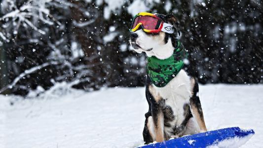 狗,在,雪,壁纸