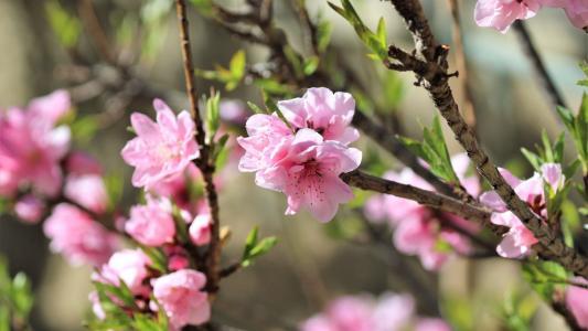 唯美娇嫩的桃花