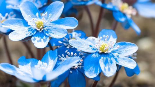 蓝色的花朵,花瓣