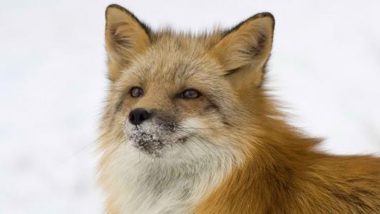 狐狸,狐狸,红发,狡猾