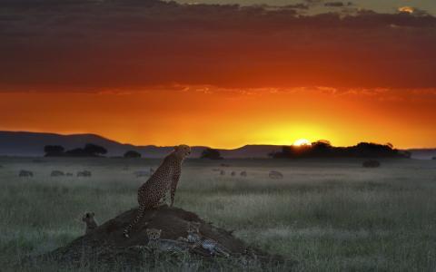 日落,豹子,大草原