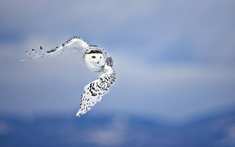 鸟,猫头鹰,翅膀,背景,捕食者,天空