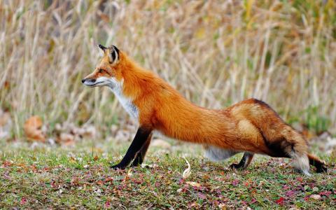 腿,伸展,狐狸,林间空地,秋天