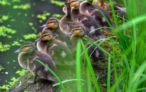 池塘,草地,小鸭子