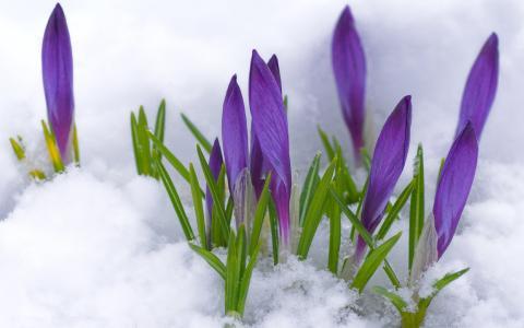 雪,报春花,鲜花,番红花,春天,芽,宏,紫色