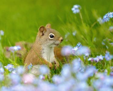 花草,松鼠,田野,勿忘我