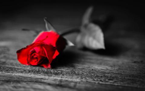 玫瑰,花卉,壁纸