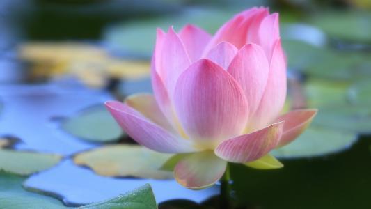 莲花,镜子,光滑,水