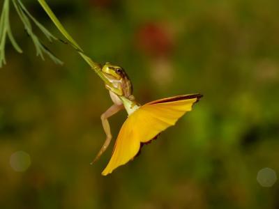 普通的树蛙,arborea,青蛙,花,宏