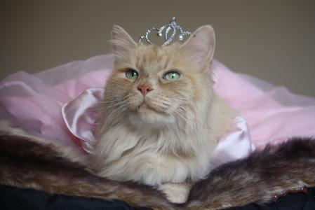 公主,皇冠,猫