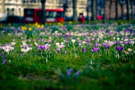 番红花,林间空地,鲜花,城市,伦敦,春天