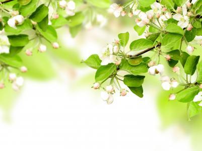 叶子,春天,鲜花,苹果,树枝