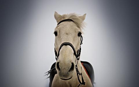 马在马具,白色鬃毛