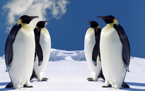 白色的腹部,企鹅