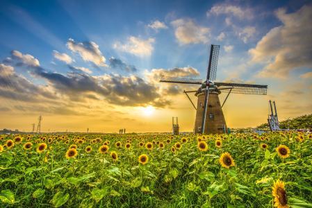 领域,向日葵,日落,磨,景观