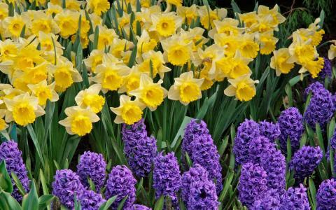 水仙花,黄色