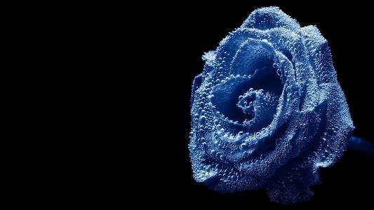 玫瑰,黑暗的背景