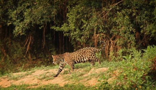 捷豹,野猫,捕食者,卡门lundqvist