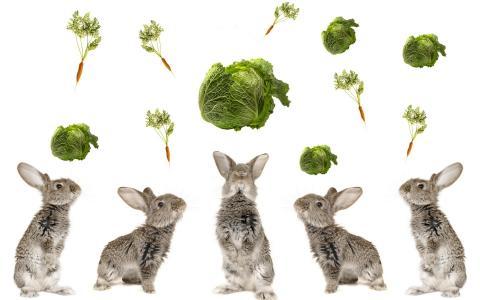 兔子,卷心菜