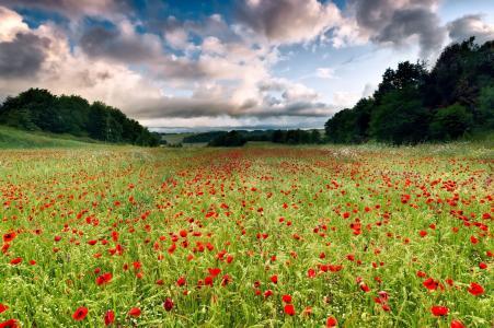 罂粟花,空间,景观,草地,浩瀚,鲜花