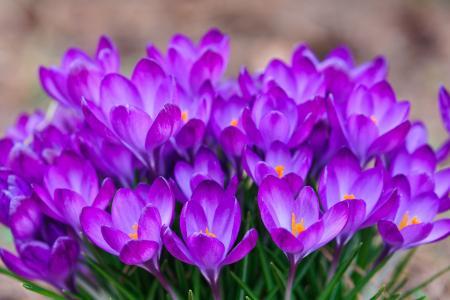 番红花,番红花,春天