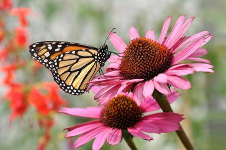 蝴蝶,海胆亚目,鲜花,宏