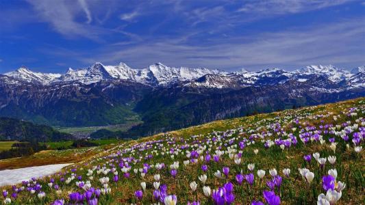 山,雪,坡,草,花,番红花