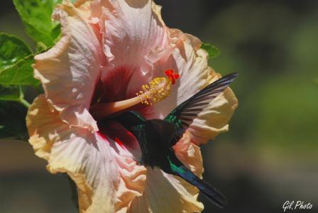 花,芙蓉,鸟,蜂鸟