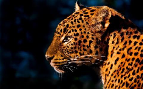 豹,小胡子,猫,斑点