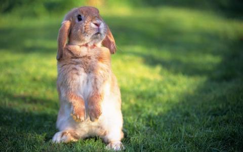 站立,后腿,兔子
