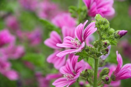 开花,锦葵,美女,夏天
